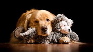 Bilder Hunde Golden Retriever Spielzeuge Schwarzer Hintergrund
