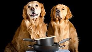 Desktop hintergrundbilder Hunde Golden Retriever 2 Schwarzer Hintergrund Blick Tiere