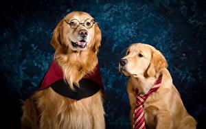 Hintergrundbilder Hunde Golden Retriever Zwei Brille Krawatte Tiere