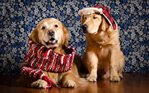 Hintergrundbilder Hund Golden Retriever 2 Mütze Schal