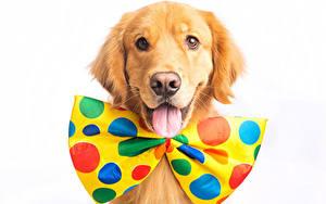 Bilder Hunde Golden Retriever Weißer hintergrund Schleife Blick Zunge
