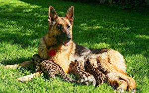 Bilder Hunde Gepard Jungtiere Gras Shepherd Welpe