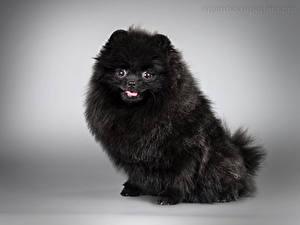 Fotos Hunde Grauer Hintergrund Spitz Schwarz Tiere