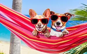 Fotos Hund Hängematte 2 Chihuahua Jack Russell Terrier Brille Zunge Lustiges Tiere