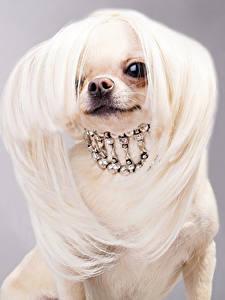 Bilder Hunde Schmuck Grauer Hintergrund Chihuahua Haar Tiere