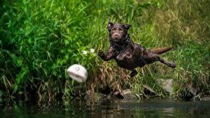 Bilder Hunde Sprung Nass Flug Labrador Retriever Tiere