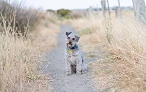 Hintergrundbilder Hund Gras Weg Sitzt Blick Lakeland Terrier ein Tier