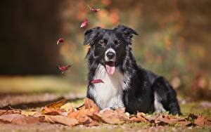 Picture Dog Lying down Foliage Staring Blurred background Border Collie Animals