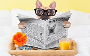 Fotos Hunde Zeitung Blick Brille Bulldogge Lustige ein Tier