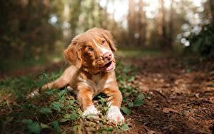 Picture Dogs Nova Scotia Duck Tolling Retriever Puppy Bokeh Esting Staring Animals