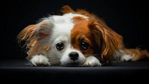 Picture Dog Papillon Glance Puppies animal