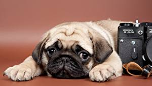 Pictures Dog Pug Puppy Camera Glance animal