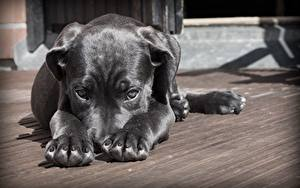 Picture Dog Puppy Paws Glance Black animal