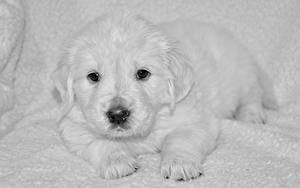 Image Dogs Puppy Retriever White Snout Glance Animals