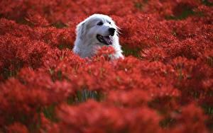 Hintergrundbilder Hunde Kopf Bokeh Pyrenean Mountain Dog Tiere