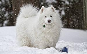 Wallpaper Dog Samoyed dog Snow White Staring animal