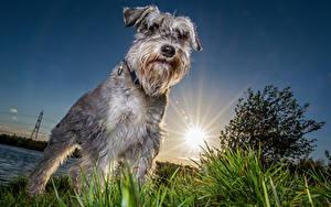 Bilder Hunde Schnauzer Sonne Tiere