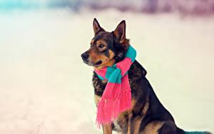 Fotos Hunde Shepherd