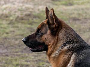 Bilder Hunde Shepherd 1ZOOM