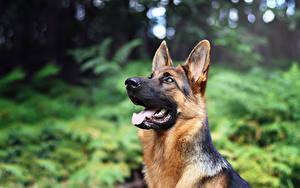 Fotos Hunde Shepherd ein Tier