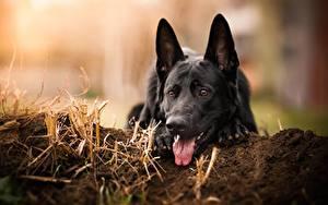 Hintergrundbilder Hunde Shepherd Schwarz Tiere