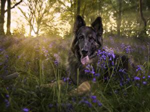 Hintergrundbilder Hunde Shepherd Gras