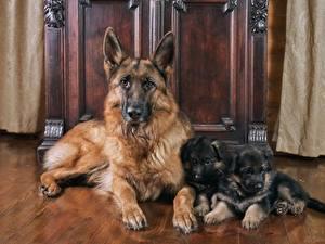 Fotos Hunde Shepherd Welpen