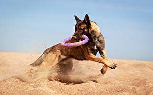 Hintergrundbilder Hunde Shepherd Sand Lauf Tiere