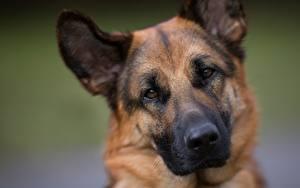 Bilder Hunde Shepherd Schnauze Blick