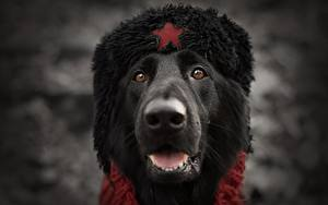 Pictures Dogs Snout Winter hat Russian Head Animals