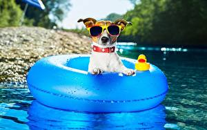 Bilder Hunde Sommer Jack Russell Terrier Brille Lebensmittel