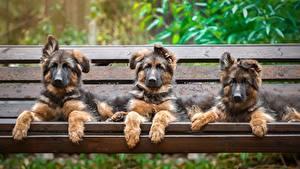 Bilder Hunde Drei 3 Shepherd Welpe Bank (Möbel)