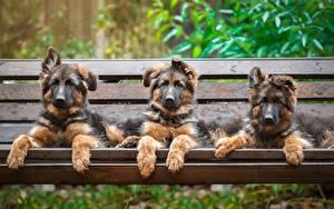 Bilder Hunde Drei 3 Shepherd Welpe Bank (Möbel) Tiere