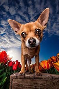 Bilder Hunde Tulpen Felder Himmel HDRI Chihuahua Starren Tiere