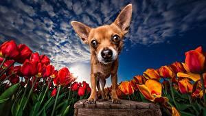 Bilder Hund Tulpen Acker Himmel HDRI Chihuahua Starren ein Tier