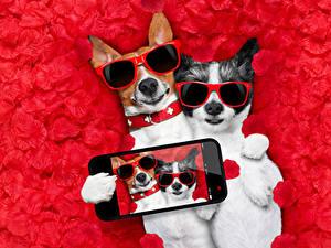 Desktop hintergrundbilder Hunde 2 Jack Russell Terrier Brille Smartphones Selfie Blütenblätter Lustige Tiere