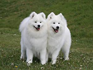 Photo Dogs Two Samoyed dog Grass Animals