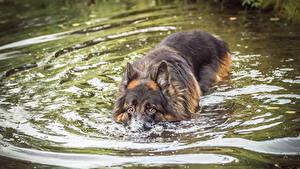 Fotos Hunde Wasser Shepherd