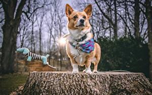 Photo Dogs Welsh Corgi Tree stump Glance Animals