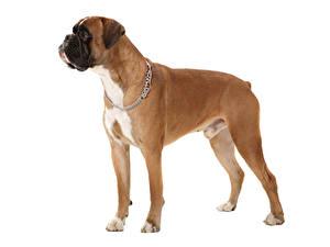 Bilder Hund Weißer hintergrund Boxer Tiere
