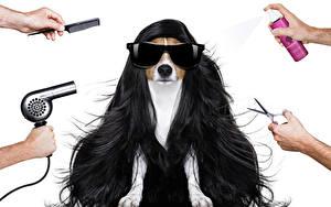 Fotos Hund Weißer hintergrund Haar Brille Jack Russell Terrier Hand Föhn Tiere