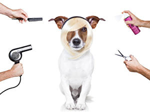 Pictures Dogs White background Jack Russell terrier Hairstyles Hands Hair dryer Animals