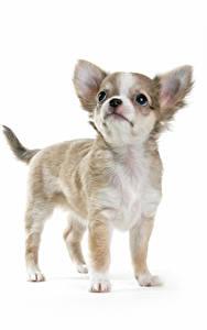 Fotos Hund Weißer hintergrund Welpe Chihuahua Blick ein Tier