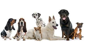 Fotos Hunde Weißer hintergrund Shepherd Dalmatiner Chihuahua Basset Hound Rottweiler Tiere