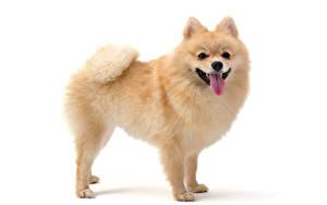 Hintergrundbilder Hunde Weißer hintergrund Spitz Zunge Tiere