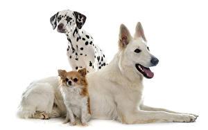 Fotos Hunde Weißer hintergrund Drei 3 Dalmatiner Chihuahua Shepherd ein Tier