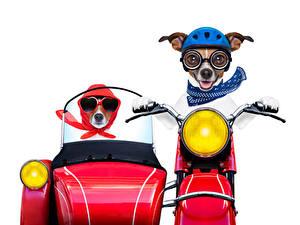Fotos Hunde Weißer hintergrund Zwei Jack Russell Terrier Brille Motorradfahrer Lustiger ein Tier Motorrad