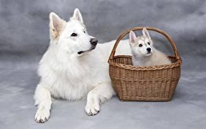 Images Dog Wicker basket Puppy Paws White Staring animal