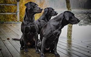 Hintergrundbilder Hunde Drei 3 Schwarz Blick Sitzend Labrador Retriever Tiere