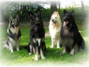 Hintergrundbilder Hunde Shepherd Starren Vier 4 shiloh